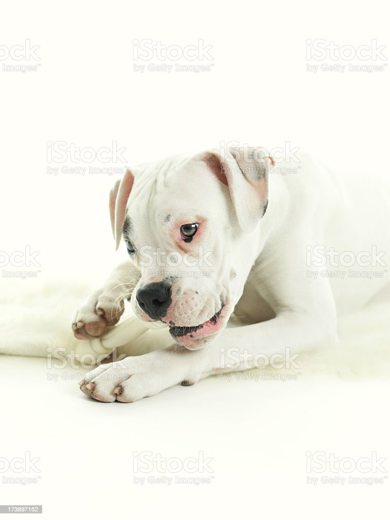 Dog eating a bone royalty-free stock photo