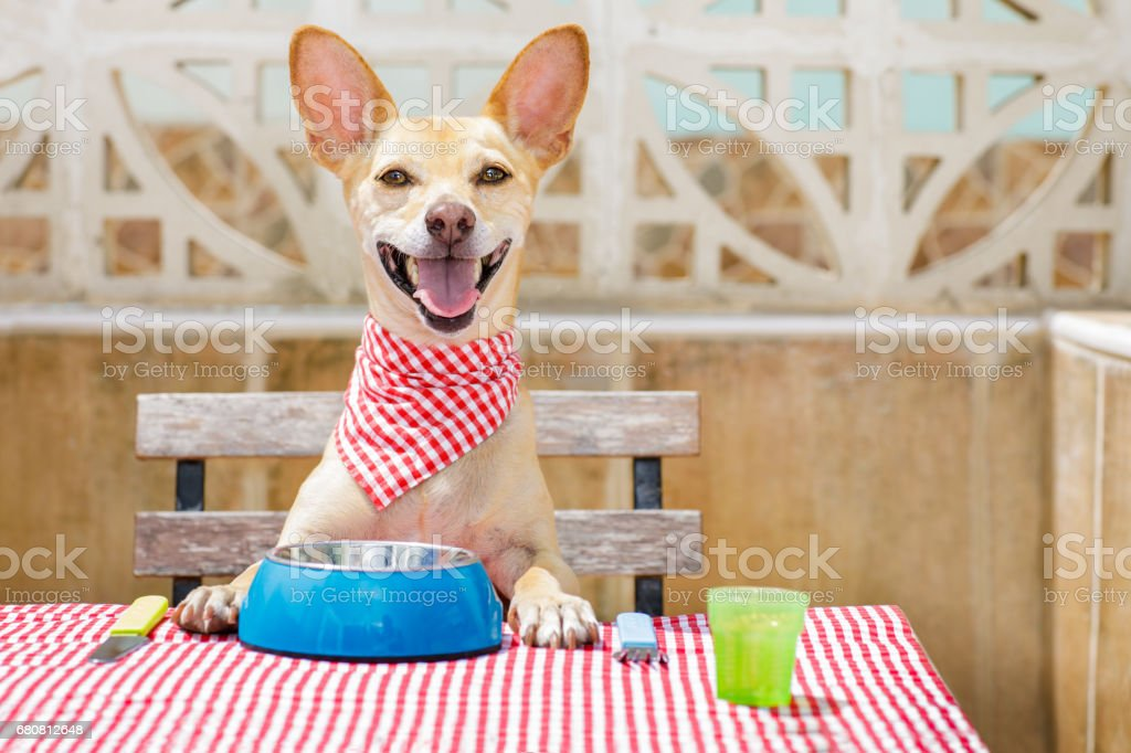 dog eating a the table with food bowl stock photo