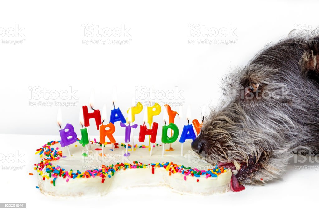 Incredible Dog Eating Bone Shaped Birthday Cake Stock Photo Download Image Personalised Birthday Cards Sponlily Jamesorg