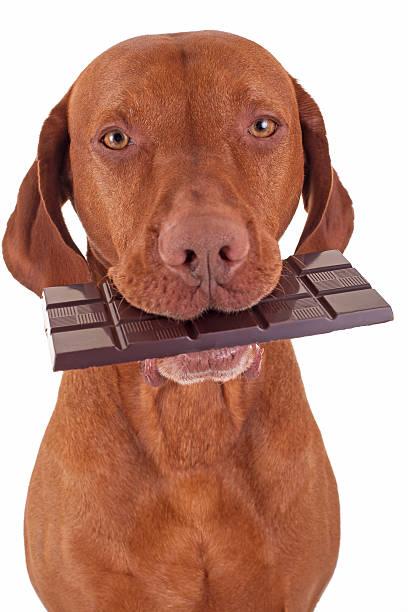 dog eating chocolate stock photo