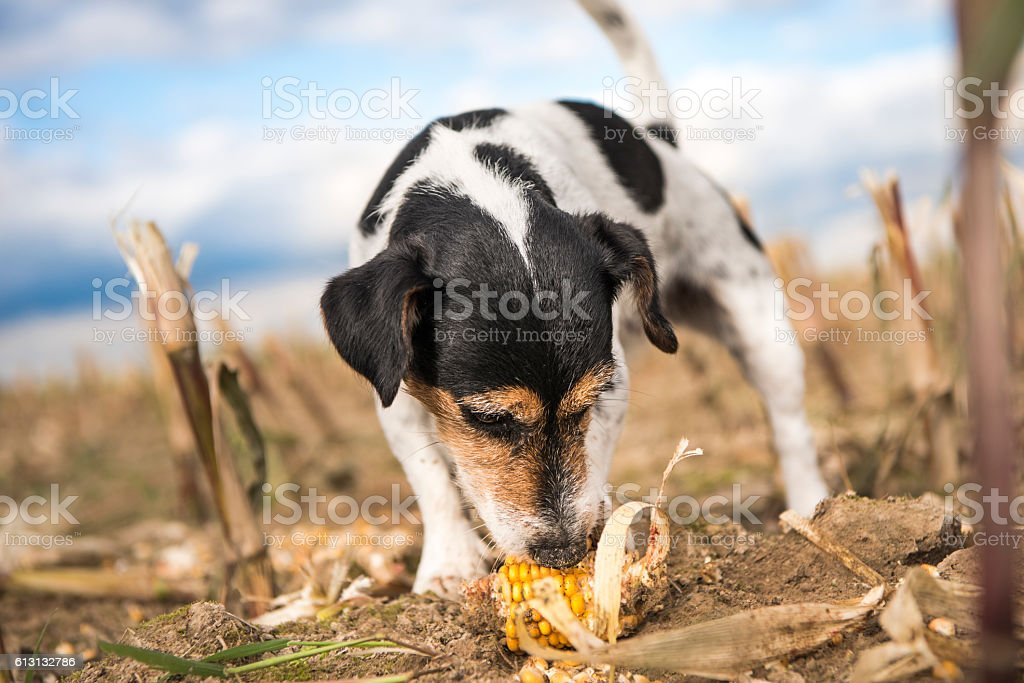 Dog eating corn - jack russell terrier stock photo