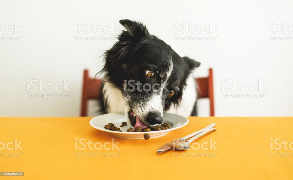 Dog Eating Granules. Cute Border Collie Sitting behind the Table and Licking Dog Food from the Plate. stock photo