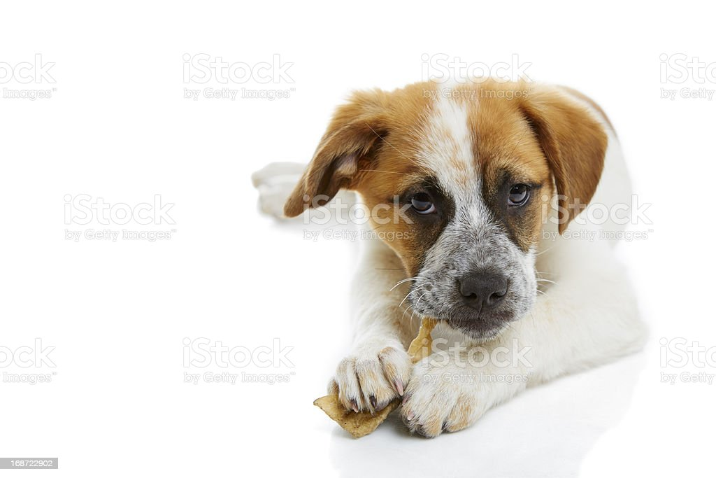 Dog eating rawhide treat royalty-free stock photo