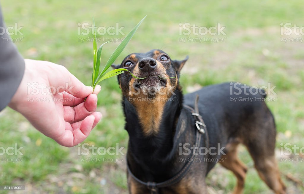Dog eats grass from the hands. stock photo