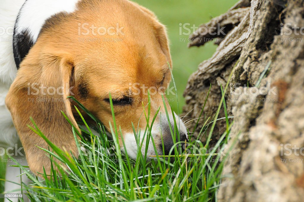 dog eating grass - 600×400