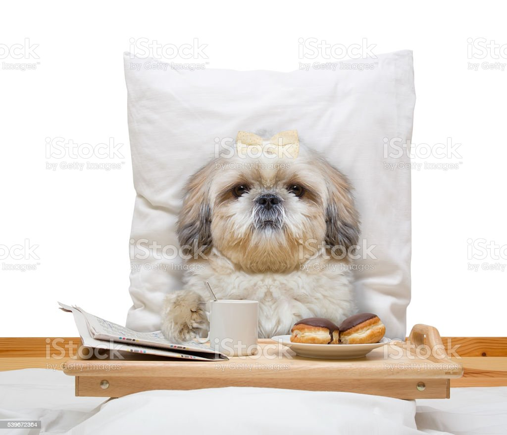 dog eats in bed and drink stock photo