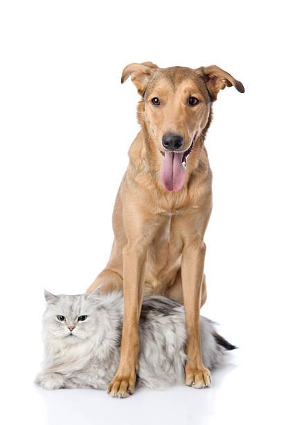 Dog embracing a cat isolated on white background picture id537347462?b=1&k=6&m=537347462&s=612x612&w=0&h=jobghrexhweend9lkgizdznvbqib41ra ct7slwdf24=