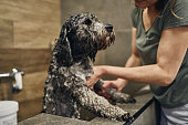 Cute little silver haired dog getting washed in a pet beauty salon