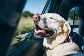 istock Dog enjoying from traveling by car 1154959817