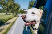 istock Dog enjoying from traveling by car 1154959860