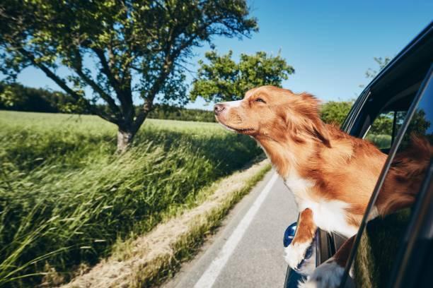 Dog enjoying from traveling by car stock photo
