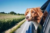 istock Dog enjoying from traveling by car 1154959886