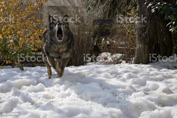 Dog enjoying the snow during winter picture id684248336?b=1&k=6&m=684248336&s=612x612&h=67e kwm5tqyqftnceorghponzjobren9xeesyx0u7li=