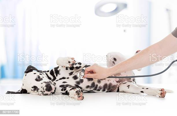 Dog examination by veterinary doctor with stethoscope in clinic picture id501917700?b=1&k=6&m=501917700&s=612x612&h=4h11wk7g7rtcjweho2liza2z9b9jq2ys723p61ylfq4=