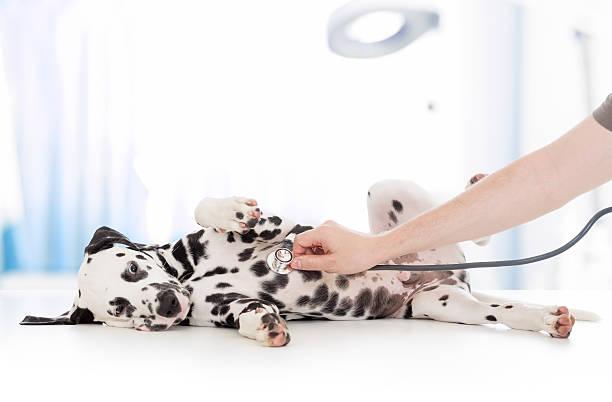 Dog examination by veterinary doctor with stethoscope in clinic picture id501917700?b=1&k=6&m=501917700&s=612x612&w=0&h=xvlugxf12lqqrlasiwysyxymh4dfwoalj2khbnjrewm=