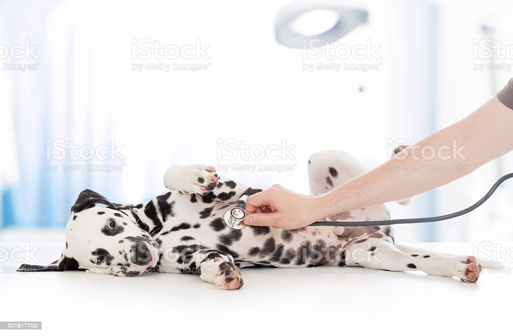 dog examination by veterinary doctor with stethoscope in clinic stock photo