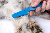 Dog examine for fleas with the flea comb - grooming