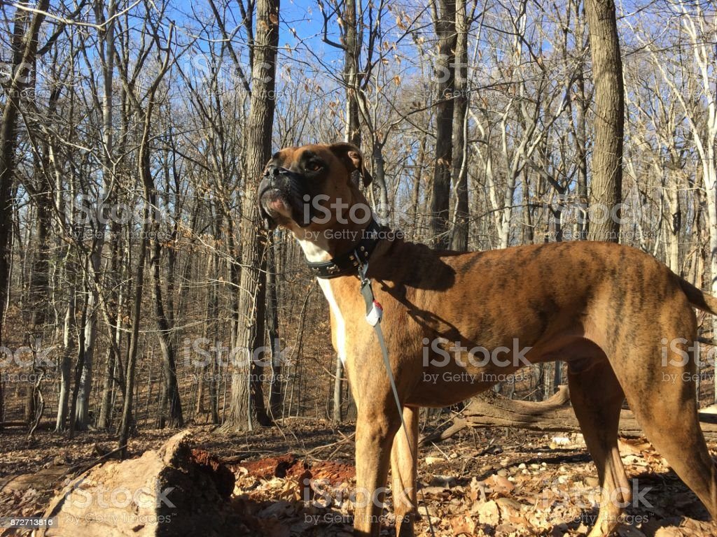 dog exploring in the forest during winter stock photo