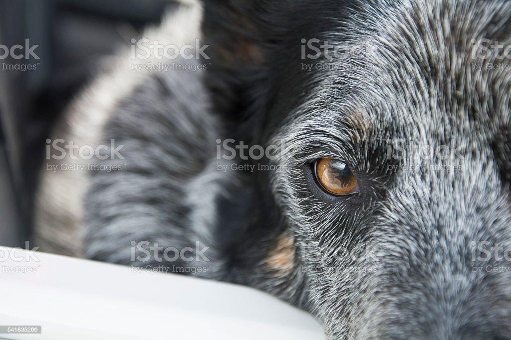 dog eye looking at camera