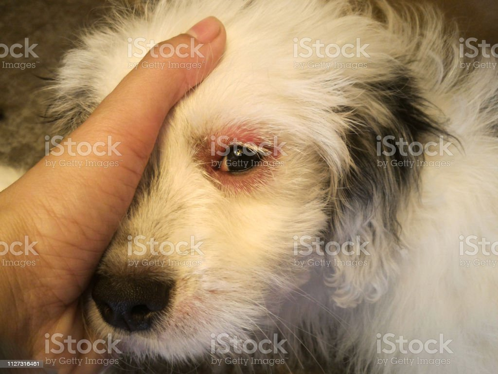 Dog eyes infection