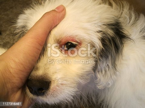istock Dog eyes infection - Dog with irritated red eyes suffering from something allergy. 1127316461
