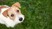 Dog face - cute happy jack russell pet puppy looking in the grass, web banner with copy space