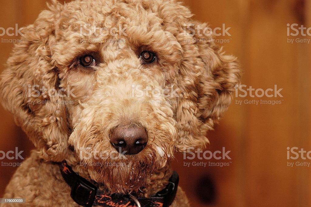 dog face royalty-free stock photo