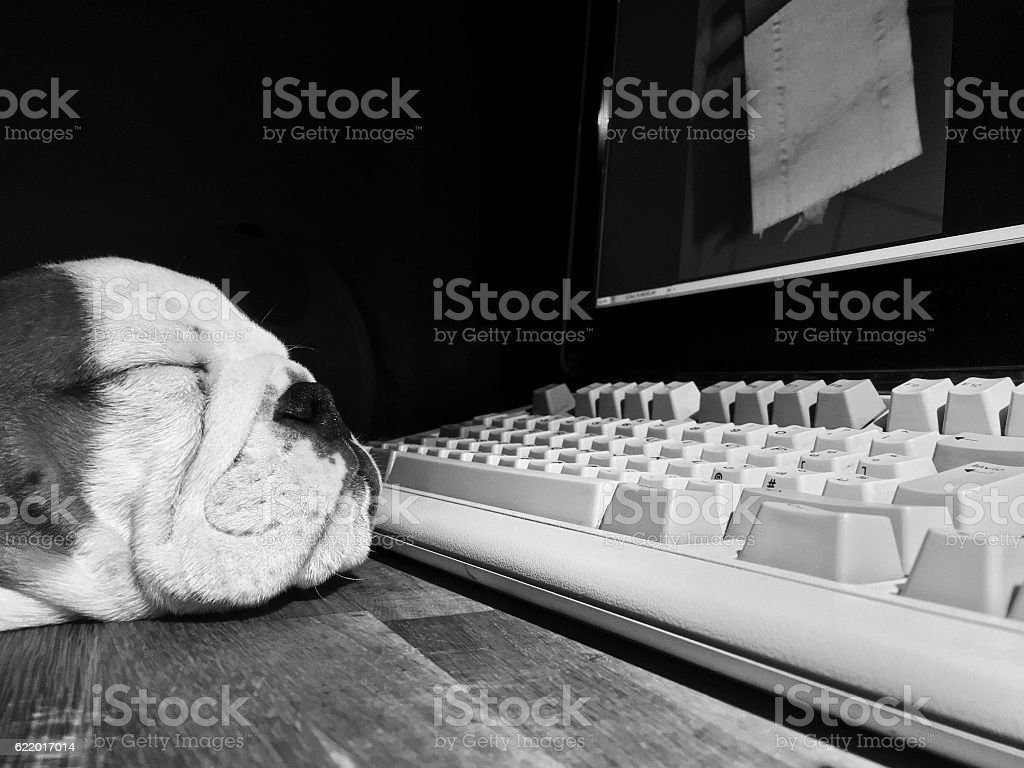 Dog falls asleep at the computer stock photo