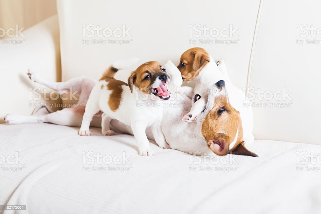 Dog family playing on a white sofa royalty-free stock photo