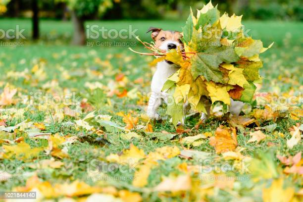 Dog fetching thanksgiving colorful bouquet made of maple leaves picture id1021844140?b=1&k=6&m=1021844140&s=612x612&h=omzhgjzmlgady x vv8nllo4yzz7cuk1iufj8vzpaz8=