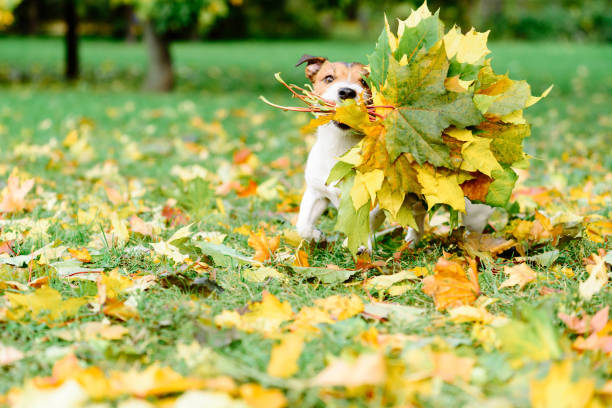 Dog fetching thanksgiving colorful bouquet made of maple leaves Dog running with autumnal bouquet thanksgiving pets stock pictures, royalty-free photos & images