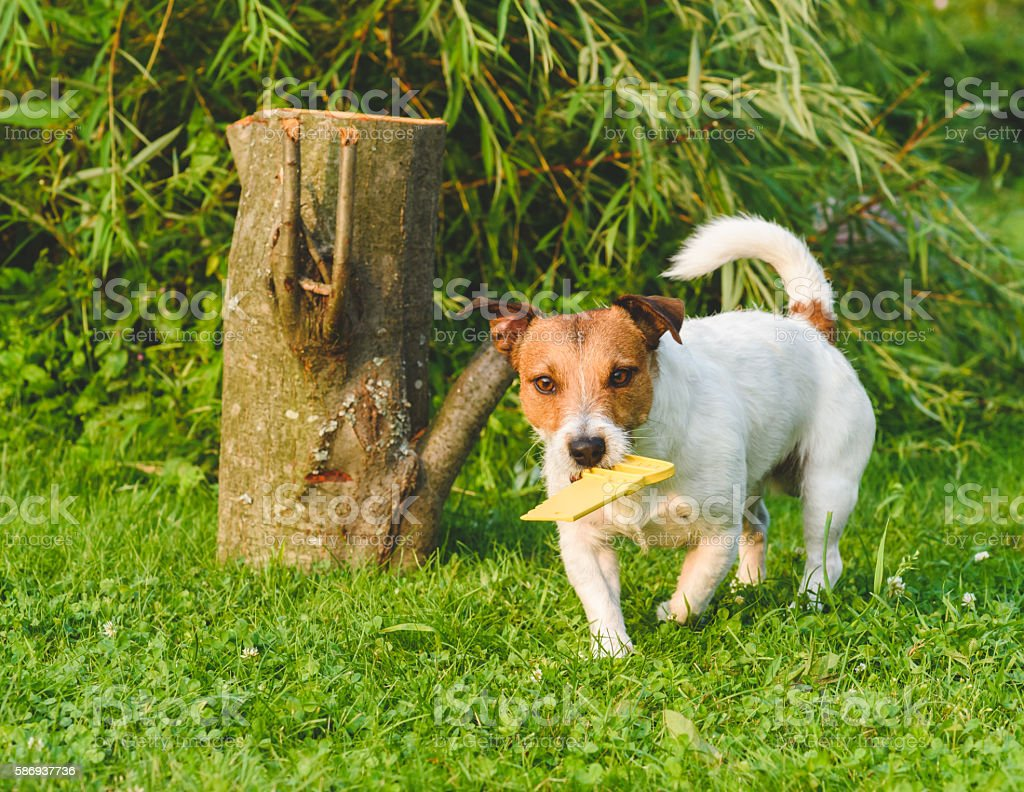 Dog fetching toy yellow saw playing woodcutter role - Photo