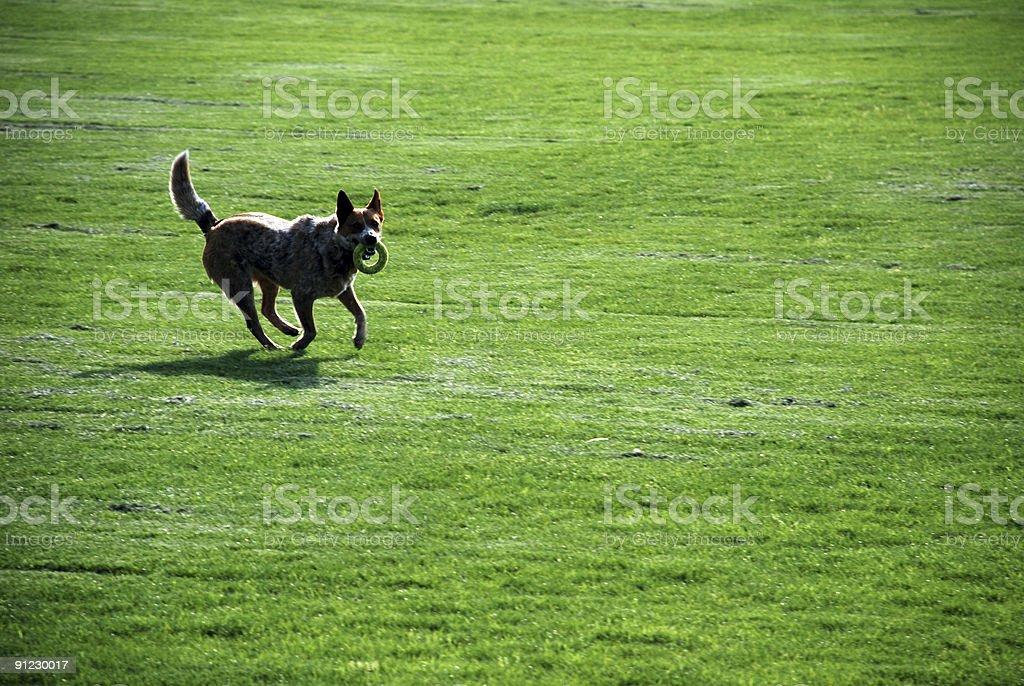Dog - Field royalty-free stock photo
