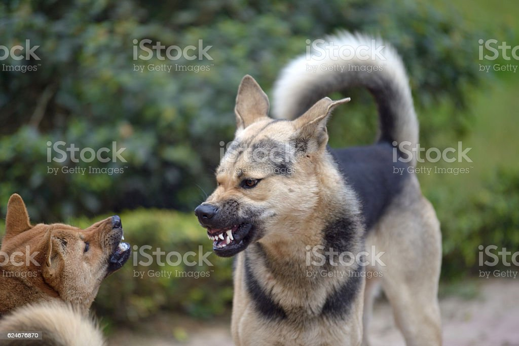 dog fight stock photo