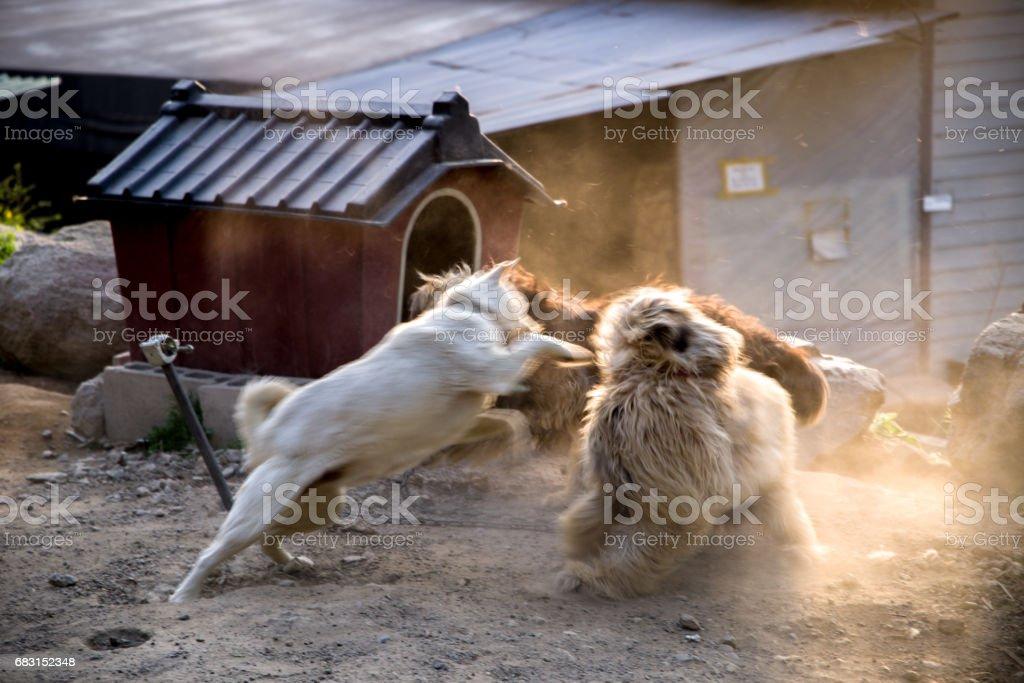 dog fight_2 stok fotoğrafı