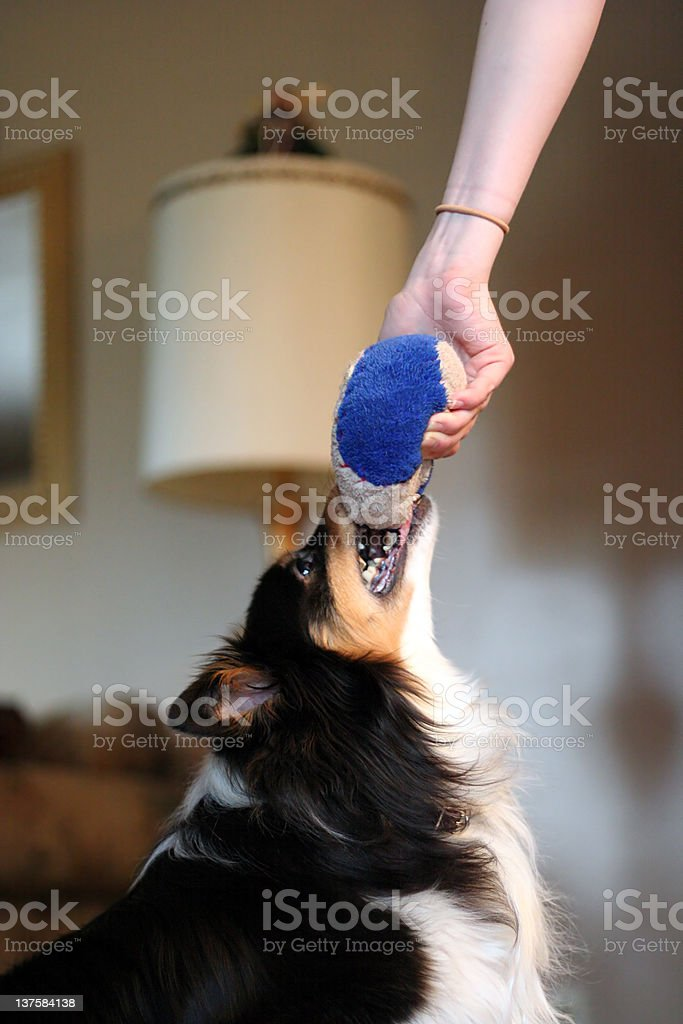 Dog fighting for ball royalty-free stock photo