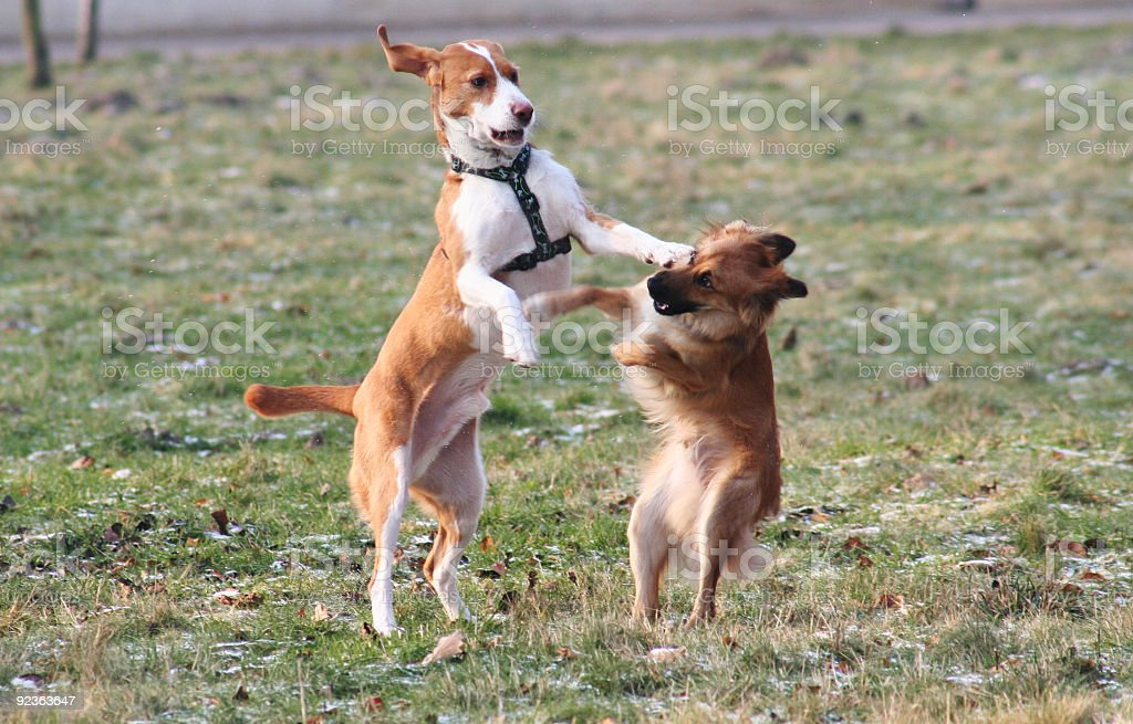 dog fighting royalty-free stock photo
