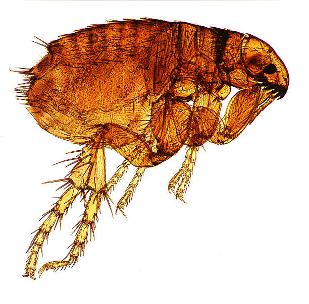 Dog Flea Microscopic image of a dog flea. A health hazard Fleas are blood sucking insects that can also bite humans. light micrograph stock pictures, royalty-free photos & images