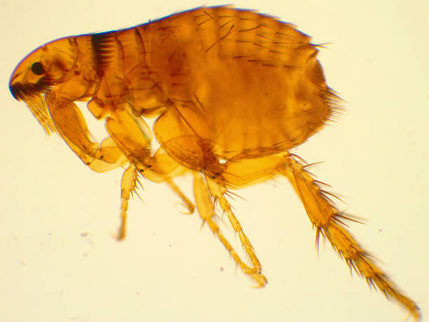 Dog flea under microscope. 40x magnified. stock photo