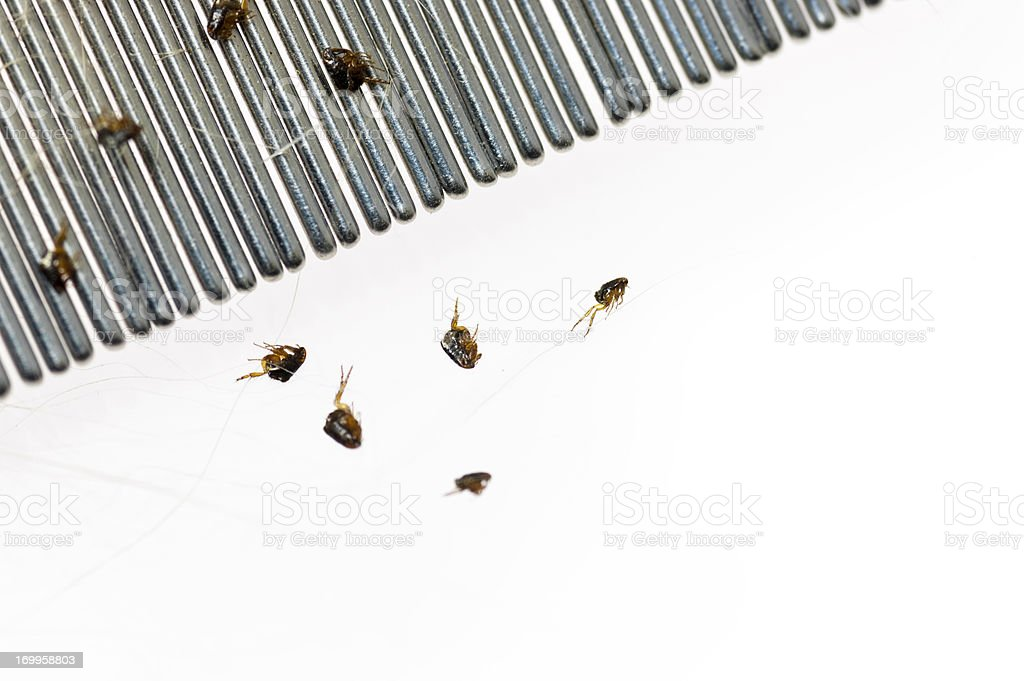 Dog fleas and a comb against a white background stock photo