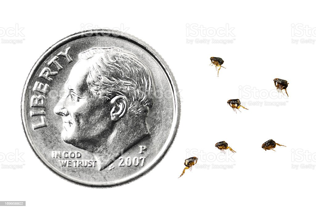 Dog Fleas compared to a dime stock photo
