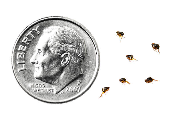 Dog Fleas compared to a dime Dog Fleas next to a US Dime for scale, against a white background, focus on the fleas. dime stock pictures, royalty-free photos & images