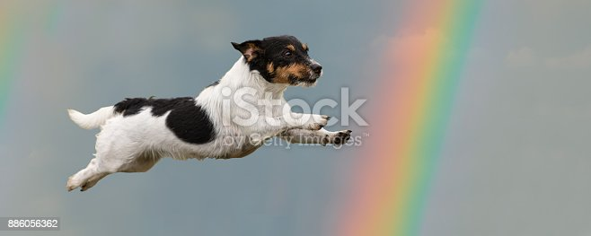 885056264 istock photo Dog flies in the sky to the rainbow - Jack Russell Terrier 886056362