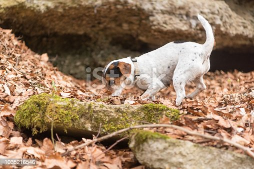 Dog follows a track in the forest - Search - Jack Russell Terrier