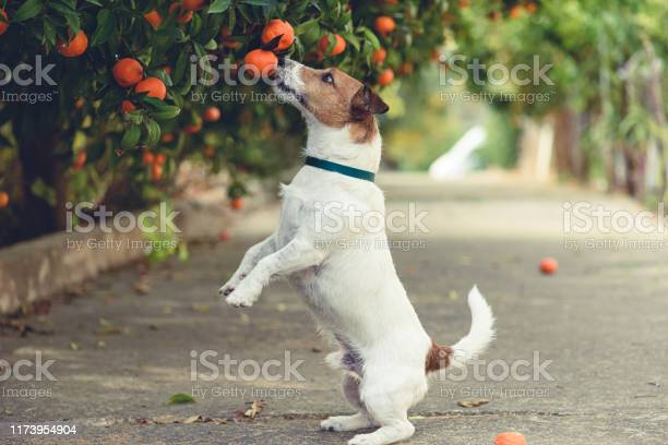 Dog fond of tangerines trying to steal low hanging fruit from tree picture id1173954904?b=1&k=6&m=1173954904&s=612x612&h=dta8bokswfmlf4zxdioml3flzwxcgl1eevscfvia2xk=