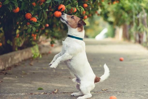 Hond dol op mandarijnen proberen te stelen van lage hangende vruchten van vertakking van de beslissingsstructuur foto
