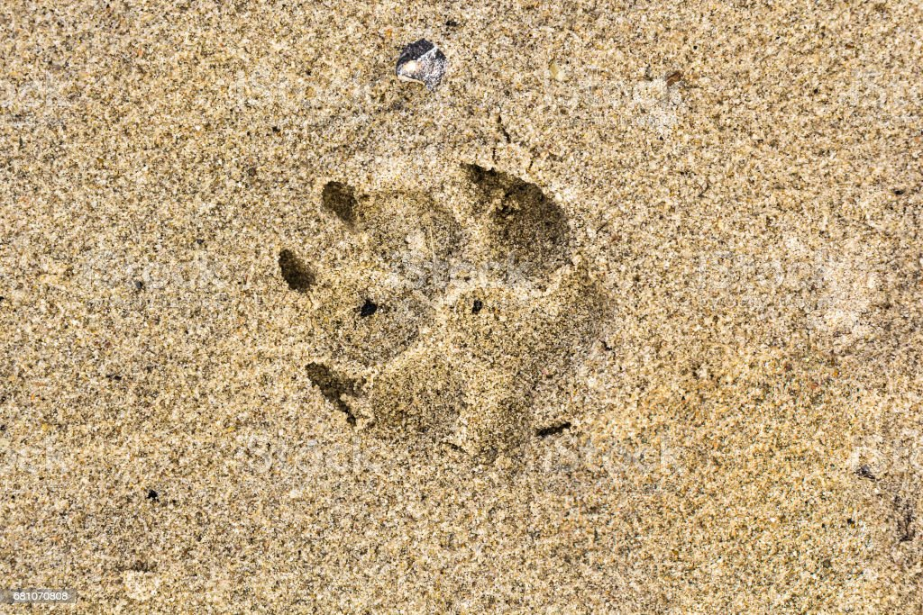 Dog foot print in the sand in summer – Foto