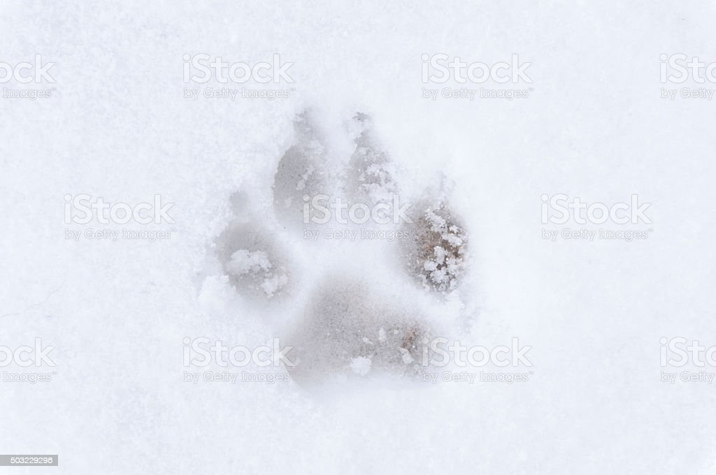 Dog footprint frost stock photo