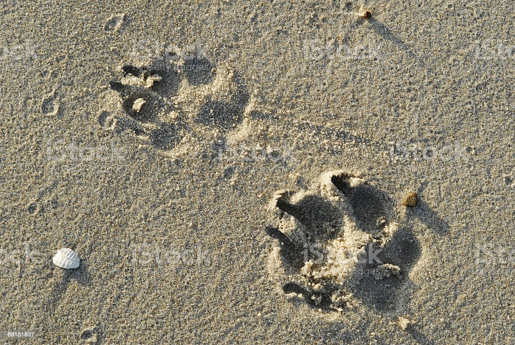 Dog footprint in the sand stock photo