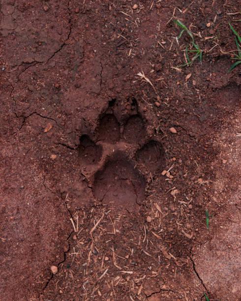 Dog footprint on wet land stock photo